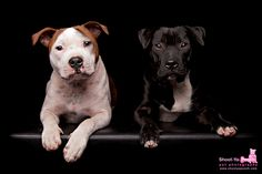 Staffies photographed by Shoot-Ya-Pooch Pet Photography | www.shootyapooch.com