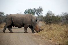 Rhino http://www.thesouthafricaguide.com/game-reserves/south-africa-travel-%E2%80%93-tourism-in-south-africa-kruger-national-park/