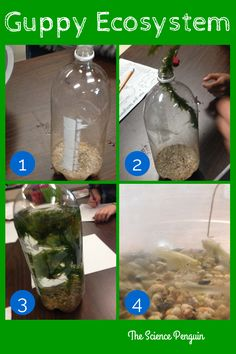 In the Classroom: Guppies!