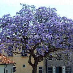 50 Stück Samen Paulownia tomentosa - Chinesischer Blauglockenbaum in Garten & Terrasse, Pflanzen, Sämereien & Zwiebeln, Sämereien & Zwiebeln | eBay!