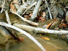 Photo of Common Anaconda, (Eunectes murinus) Eunectes Murinus, Anaconda, Snake, Wildlife, Amazon, Animals, Amazon Rainforest, Green Anaconda, Amazon Warriors