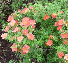 Potentilla 'orangeade'   thrive in most soil conditions, shade or sun, prefer well-drained, reasonably rich soil, but will tolerate clay, rocky, or slightly alkaline soils as well, tolerate drought, flooding, extreme cold, and will easily survive transplanting.    Potentillas should be planted in a sunny area which receives light shade in the hottest