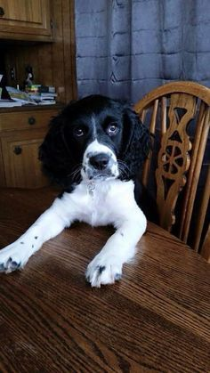 springer spaniel at table funny
