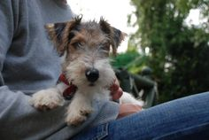 Our Fox Terrier Oscar as a pup.Excellent ears you've got there Oscar.