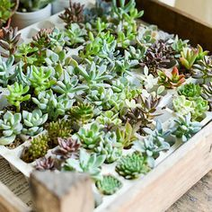 Great way to store the babies! Succulents In Containers, Planting Succulents, Planting Flowers, Air Plants, Cactus Plants, Cactus Farm, Room With Plants, Propagating Succulents, Dish Garden