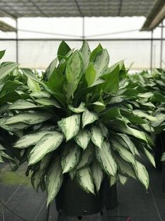 22 Stunning Aglaonema Varieties | Chinese Evergreen Types Persian Shield Plant, Indore Plants, Chinese Evergreen Plant, Lucky Plant, Air Cleaning Plants, Backyard Garden Design, Container Plants, Calla Lily, Growing Plants