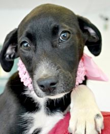 Betsy-  A pretty little girl like Betsy needs that perfect forever home to call her own.   Click on Betsy's picture for more information.