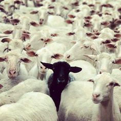 murderous black sheep  it will kill you.  while you sleep maybe.  keep counting those sheep.