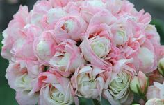 pelargonia appleblossom rosebud - Google-haku