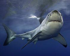 KOMPAKT - Untiefen - Weißer Hai hält vor laufender Kamera ein Nickerchen