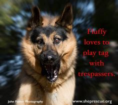 Fluffy loves to play tag with trespassers