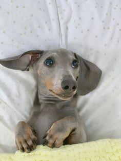 Blue Mini Dachshund : dachshund, Dachshunds, Ideas, Dachshund,, Dachshund, Puppies,