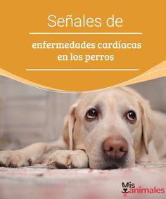 Señales de enfermedades cardíacas en los perros  Lo mejor para un tratamiento es detectar el problema a tiempo, te enseñamos algunas señales de enfermedades cardíacas en los perros, para que estés alerta. #cardíacos #tratamientos #salud #caninos
