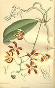 phalaenopsis lueddemanniana   phalaenopsis fasciata phalaenopsis finleyi phalaenopsis fuscata g edit ...