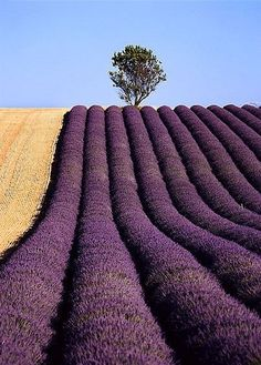 Champ de lavande en Provence. Lavender field in Provence.