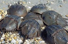 Horseshoe Crabs have a special chemical that can detect bacteria. Photo respecters and circadian clock we study for how good their vision is