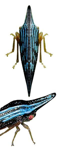Polyglypta sp.