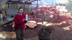 The Art of Pruning Japanese Maples Spray garden tools with Lysol spray to disinfect them so you don't spread disease