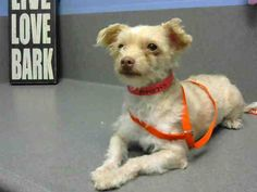 URGENT! **#A440795 (Moreno Valley, CA) female, brown and white Poodle - Toy mix. The shelter thinks I am about 2 years. I have been at the shelter since Sep 22, 2014 and I may be available for adoption on Sep 29, 2014 at 5:30PM. ..: City of Moreno Valley Animal Control Services. https://www.facebook.com/135559229932205/photos/a.136024659885662.29277.135559229932205/365596846928441/?type=3&theater