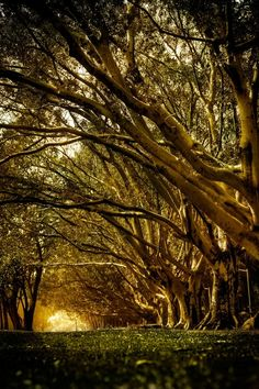 Fig trees at Parque Ibirapuera
