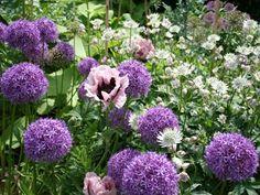 Massif champêtre : ail décoratif et pavot d'Orient (Scènes de jardins)                                                                                                                                                      Plus