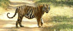 Monsoon Forest Lodge, Bandhavgarh, India,  - The Tiger In India