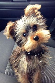 Some of the things I admire about the Affectionate Yorkshire Terrier Pup Einige der Dinge, die ich an dem liebevollen Yorkshire Terrier Pup bewundere Yorkies, Yorkie Puppy, Yorshire Terrier, Silky Terrier, Cute Puppies, Dogs And Puppies, Mini Puppies, Pet Dogs, Dog Cat