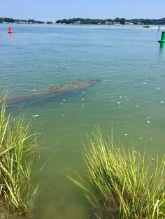 Shadow spotted in Rudee Inlet turns out to be manatee swimming in Virginia Beach: Please remember to report any sightings of manatees on the Eastern Seaboard and the Gulf of Mexico to local Marine Mammal Stranding Network:http://www.nmfs.noaa.gov/pr/health/report.htm