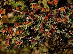 In one of the most sensational migrations on Earth, around 250 million monarch butterflies travel south from America every November to the Oyamel fir forests of Mexico, where they fill the sky with a storm of orange and black. So dense are their numbers that tree branches sag under their weight. Three main bio-reserves exist to support the butterflies: El Rosario, El Capulin and Piedra Herrada.