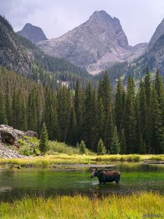 Moose in Beaver Ponds of Elk Creek, San Juan Mountains, Colorado; photo by Jack Brauer