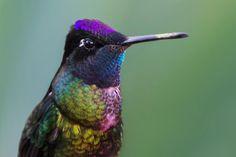 Magnificent Hummingbird by Stefan Cruysberghs via 500px
