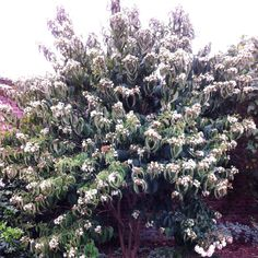Recently introduced this beautiful multi-stemmed shrub or small tree is not bothered by pests or diseases! H. miconioides is considered rare in China, with very few growing wild but thanks to the B...