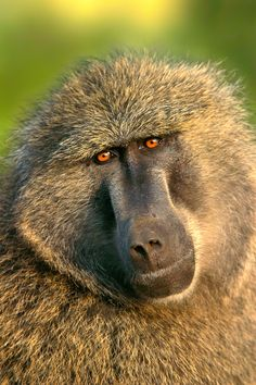 Olive Baboon (Also Called the Anubis Baboon) ~ Seronera, Serengeti National Park, Tanzania, East Africa