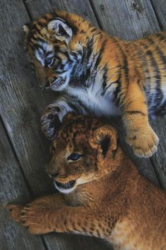 Lion and Tiger Cub by Ashley Hockenberry / (Big kittens are still kittens. Baby Animals Pictures, Cute Animal Pictures, Animals And Pets, Wild Animals, Cute Little Animals, Cute Funny Animals, Beautiful Cats, Animals Beautiful, Baby Tigers