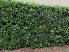 Podocarpus 'Gracifilior Common name(s): Fern Pine This 30 to 50-foot evergreen has a soft, graceful, billowy appearance of bright green new growth, dark green mature leaves, and weeping branch tips Family: Podocarpaceae USDA hardiness zones: 10 through 11 Origin: not native to North America Uses: container or above-ground planter; espalier; hedge; suitable for growing indoors screen; trainable as a standard; shade tree; specimen; resident