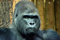 Gorila in Berlin Zoo, what did you say???