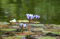 Waterlilies at Furnas Terra Nostra Park - Azores.com