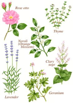 ◆『あたらしいアロマテラピー事典』(/木田 順子著、高橋書店)が 10月30日に発行されます。  夏の初めに取り掛かって、45点のアロマ植物を描き、...