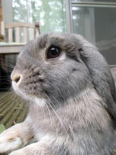 like all the others but like nobody else — cuteness–overload: Wata? Neva hoid of it Source:. Cute Baby Bunnies, Cute Baby Animals, Animals And Pets, Funny Animals, Bunny Care, Pet Rabbit, Cute Creatures, Guinea Pigs, Puppies