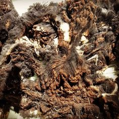 And then there's this: a pile of large dirty fleece. I'm a woman who knows how to have fun. #spinwool #fleeced #wool