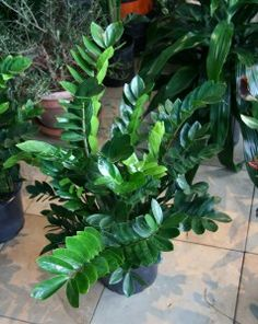 ZZ Plant – Zamioculcas Zamiifolia . Great indoors; have one in my office. Tolerates low light, little water and even less attention!