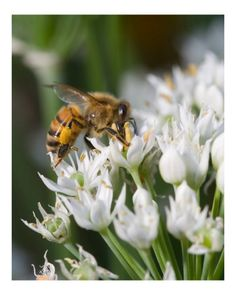When you see how many plants that honey bees pollinate you will see why we need them. Starting with the spring bulbs, bees are attracted to crocus, hyacinth, and snowdrops. Some perennials you'll need to garden for bees include roses, hollyhocks, cone flowers, foxglove, bee balm, sedum, tansy and clematis.