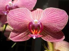 Orchidea by eszsara, via Flickr
