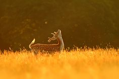 earthlynation: Fly Dance by Simon Roy   Fallow stag and flies at dawn.