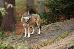 The redomestication of wolves: Large predators are reoccupying former ranges, where they often rely on newly available human foods -- ScienceDaily