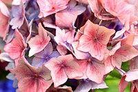 Beautiful hortensia, hydrangeaceae flowers in bloom (thumbnail)