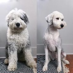 If you're considering grooming your goldendoodle, consider one of these types of cute goldendoodle haircuts - any of them are sure to make you swoon! Goldendoodle Haircuts, Goldendoodle Grooming, Maltipoo Dog, Dog Haircuts, Goldendoodles, Teddy Bear Goldendoodle, Standard Goldendoodle, Standard Poodles, Funny Dogs