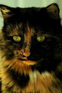 Tortie Cat...I want him!