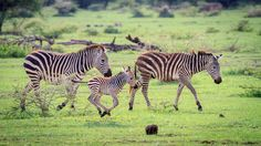 Baby Zebra Learning to Run, Ngorongoro Crater Conservation Area, Tanzania