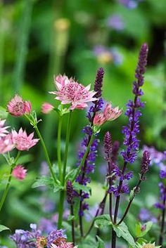Astrantia Roma and Salvia Caradonna, great combination - photo by Clive Nichols
